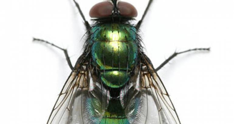 Cluster Fly Control