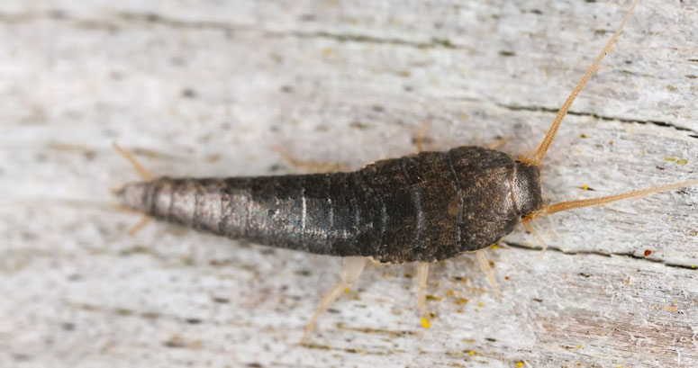 London Silverfish Control Experts