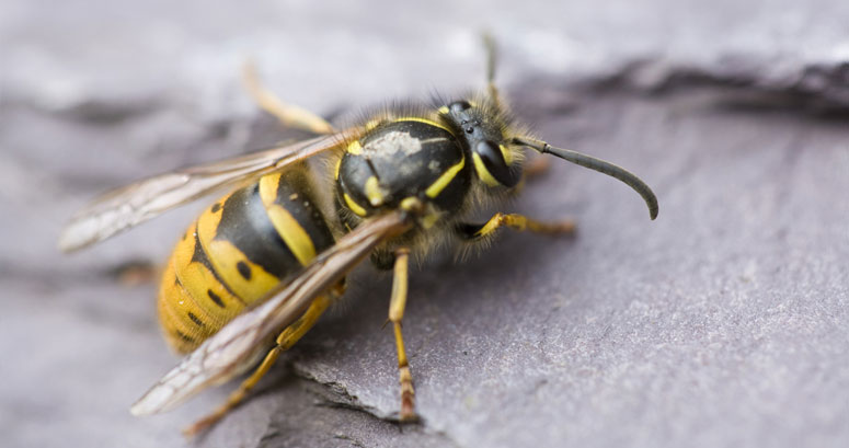 London Wasp Control Experts